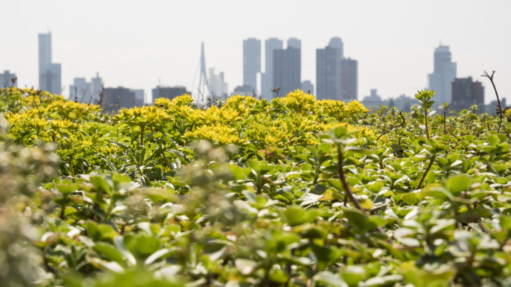 View on the skyscrapers of the Rotterdam downtown district with blooming summer vegetation on the foreground