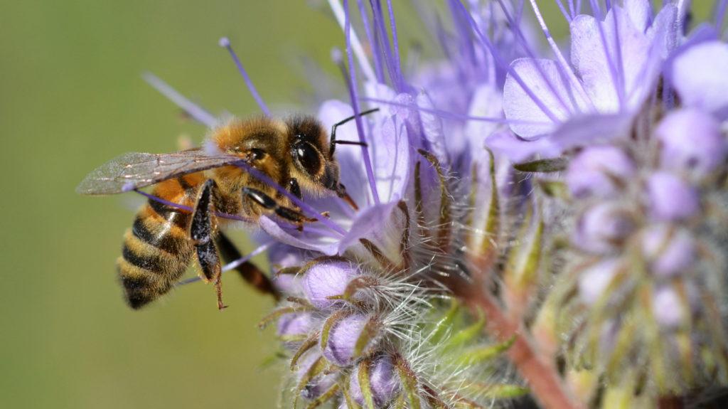 Honey bee on Phacelia tanacetifolia